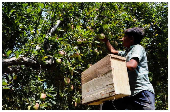 In Photos: Apple Farmers of Kashmir Hit By Clampdown